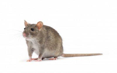 Como afastar ratos?