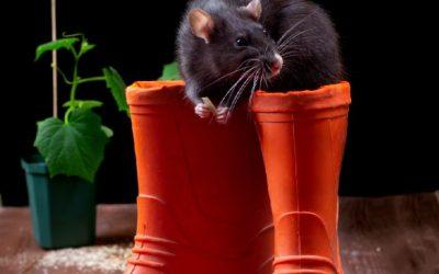 Com a volta do frio, os ratos procuram abrigos quentinhos dentro da sua casa ou empresa