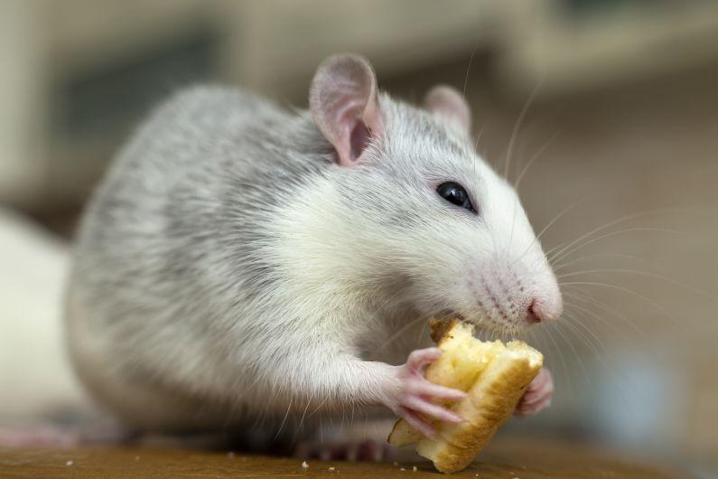 Prepare-se para a reabertura: os ratos podem ter feito ninho no seu comércio