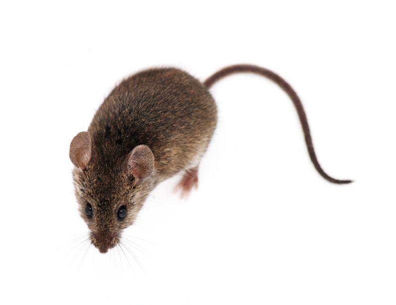 Ratos podem contribuir para a proliferação do coronavírus, cuidado!
