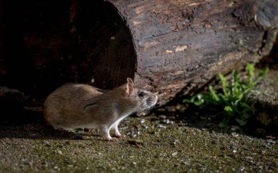 Os ratos estão mais agressivos e a infestação pode ser pior! Proteja-se!