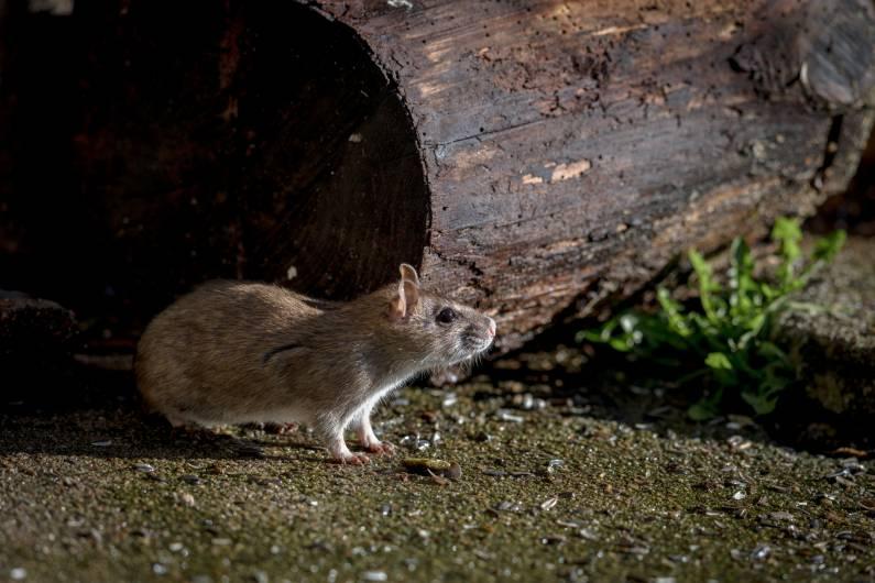 Desratização | Controle de Ratos | Porto Alegre