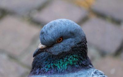 Manejo de pombos em condomínios, evite doenças e prejuízos estruturais