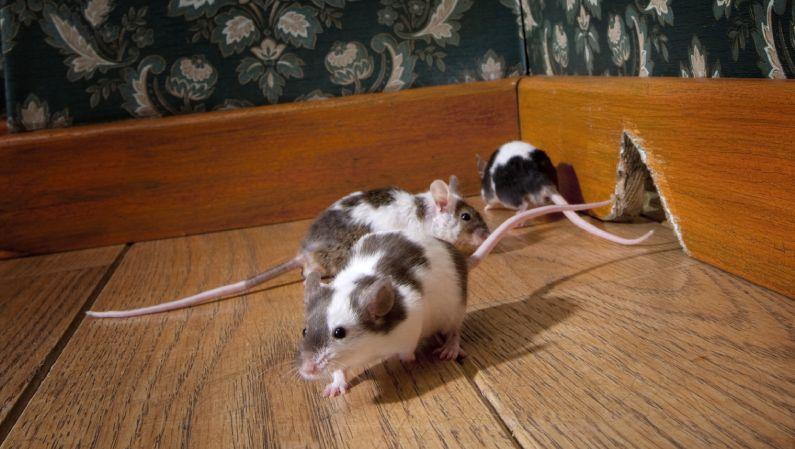 Desratização: saiba como contratar uma empresa para a eliminação de ratos