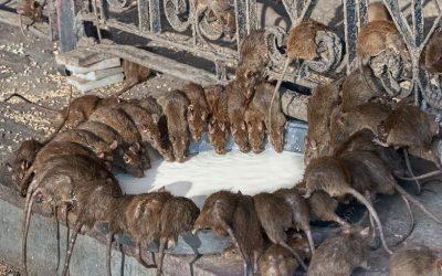 Por que os ratos se proliferam mais no verão?