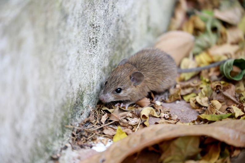Proteja-se dos ratos invasores: Guia Antinsect Uniprag Verão contra pragas