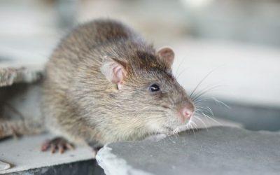 Como acabar com os ratos?